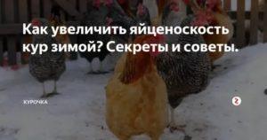 Кормление кур для увеличения яйценоскости