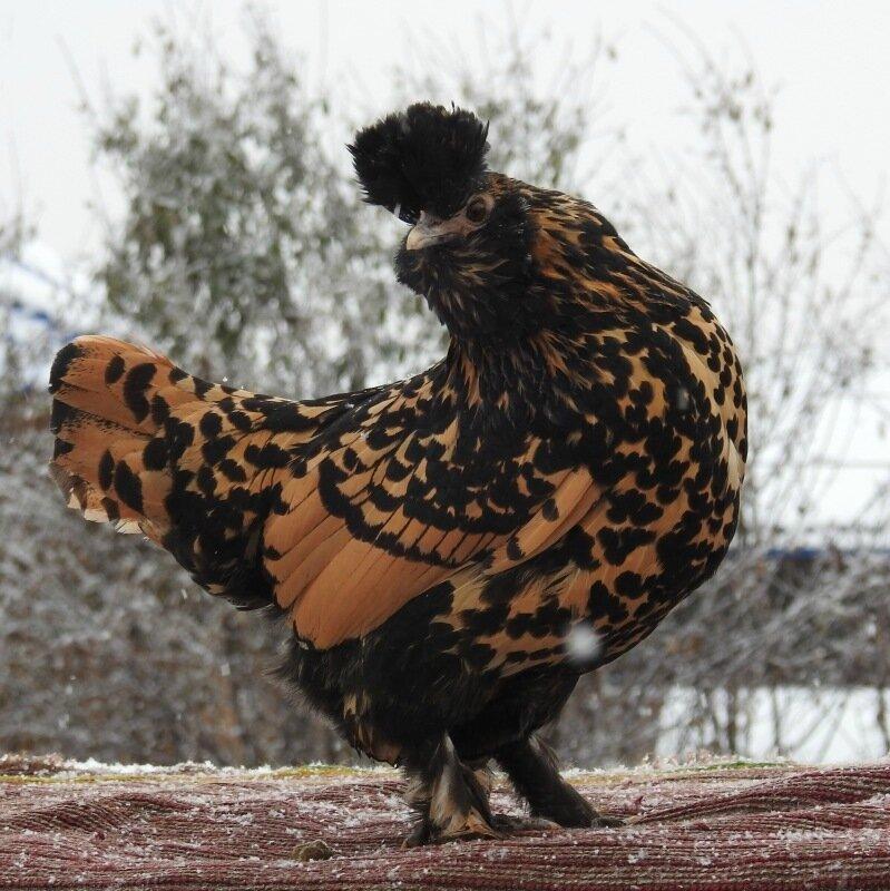 Павловские куры – описание породы, фото и видео