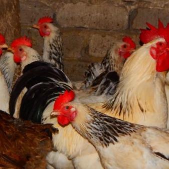 Адлерская порода кур – описание, фото и видео