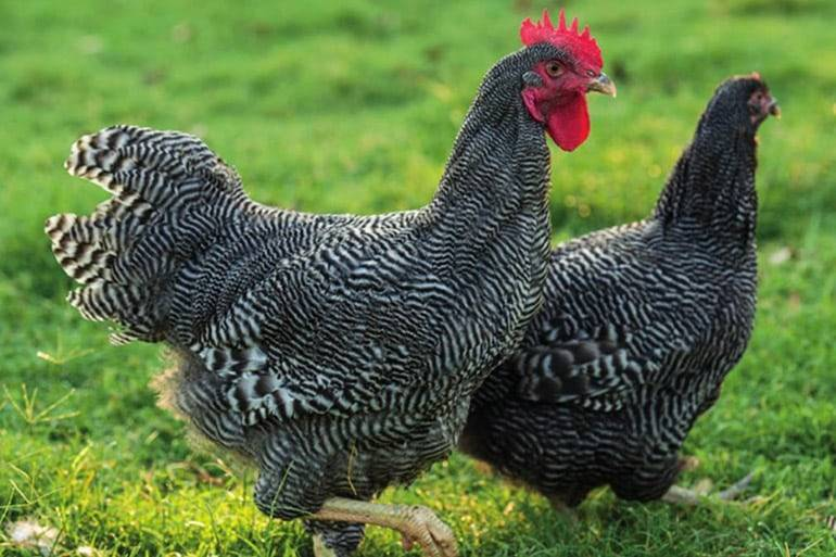 Плимутрок - мясо-яичная порода кур. Характеристики, содержание, кормление, особенности инкубации