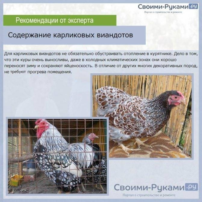 Пепои порода кур – описание с фото, характеристики