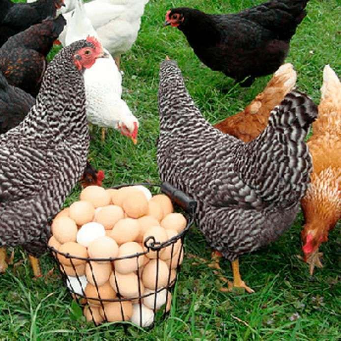 Домашние куры – породы яичные, мясные и универсальные