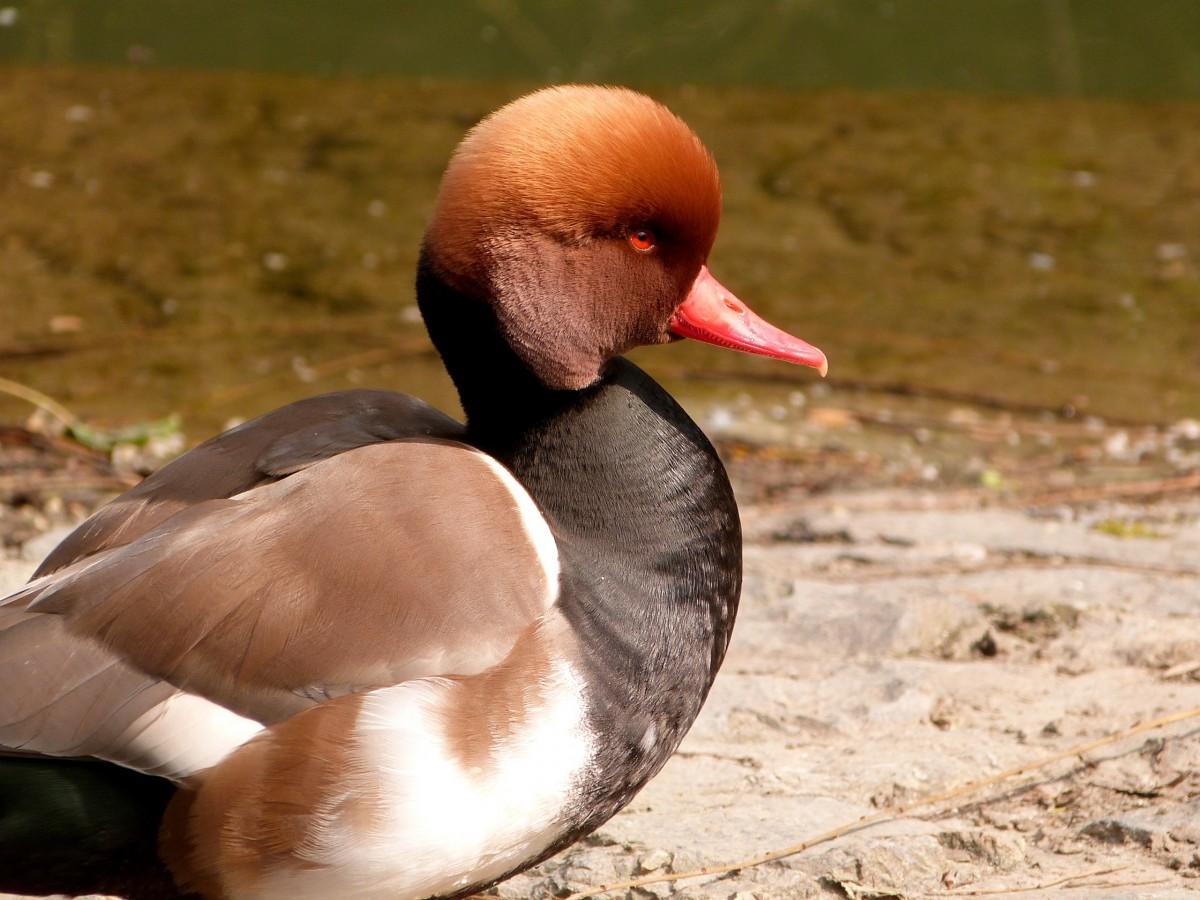 25 интересных фактов о домашних птицах