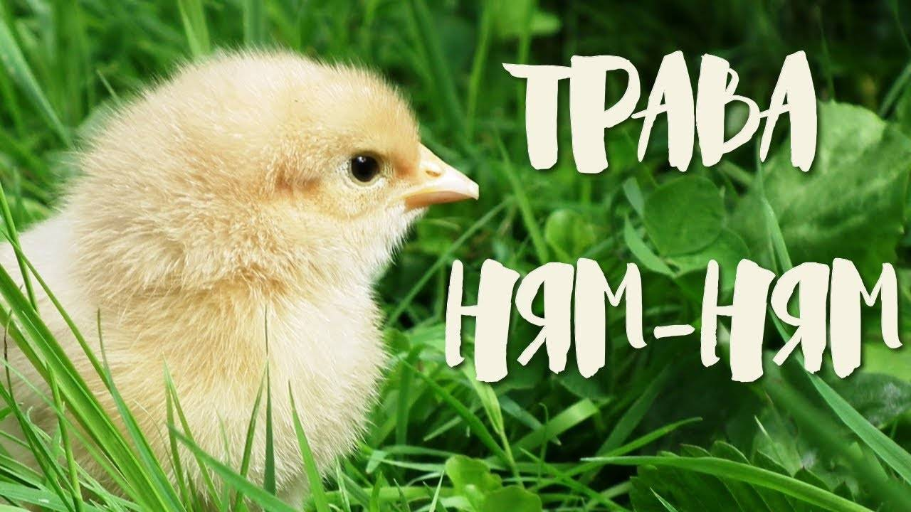 Как и когда вводить в рацион цыплят зеленую траву и зелень – нормы кормления