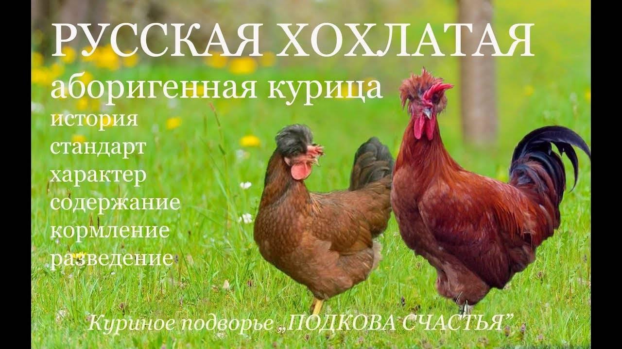 Особенности старинной породы кур Русской хохлатой