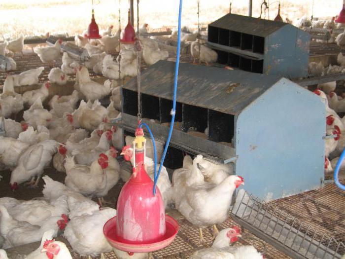 Выращивание бройлерных цыплят на мясо