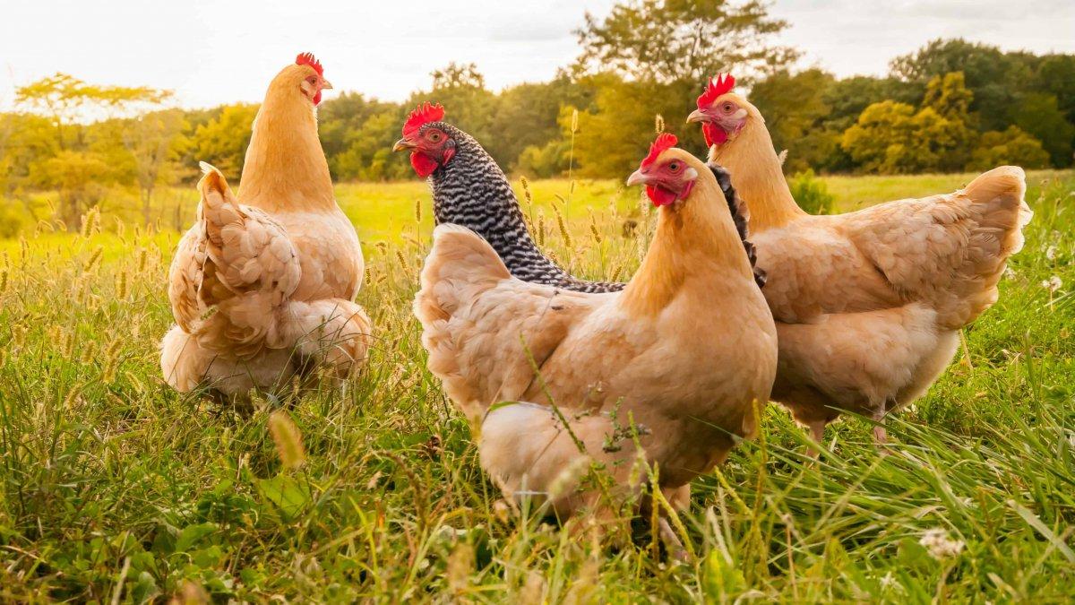 Котляревская - мясо-яичная порода кур. Описание, характеристики, выращивание и уход, инкубация, кормление