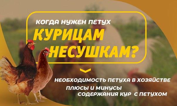 Польза от содержания кур и выгода