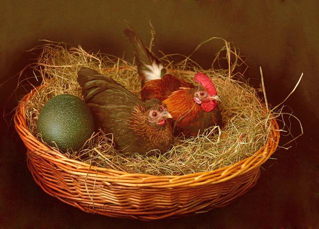 Петух сидит в гнезде для кур: почему и зачем он это делает?