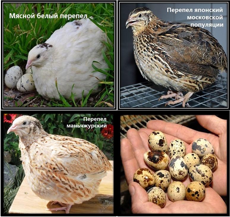 Как найти отличия между самками и самцами перпелов