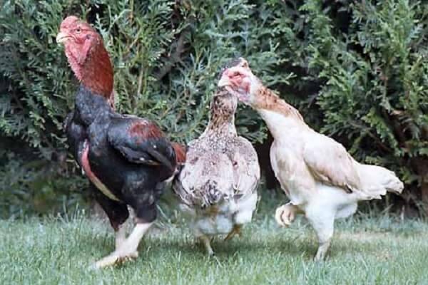 Шамо порода кур – описание бойцовой с фото и видео