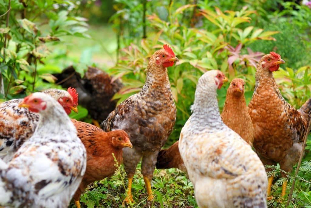 Породы домашних кур – фото и описание ТОП-10 несушек