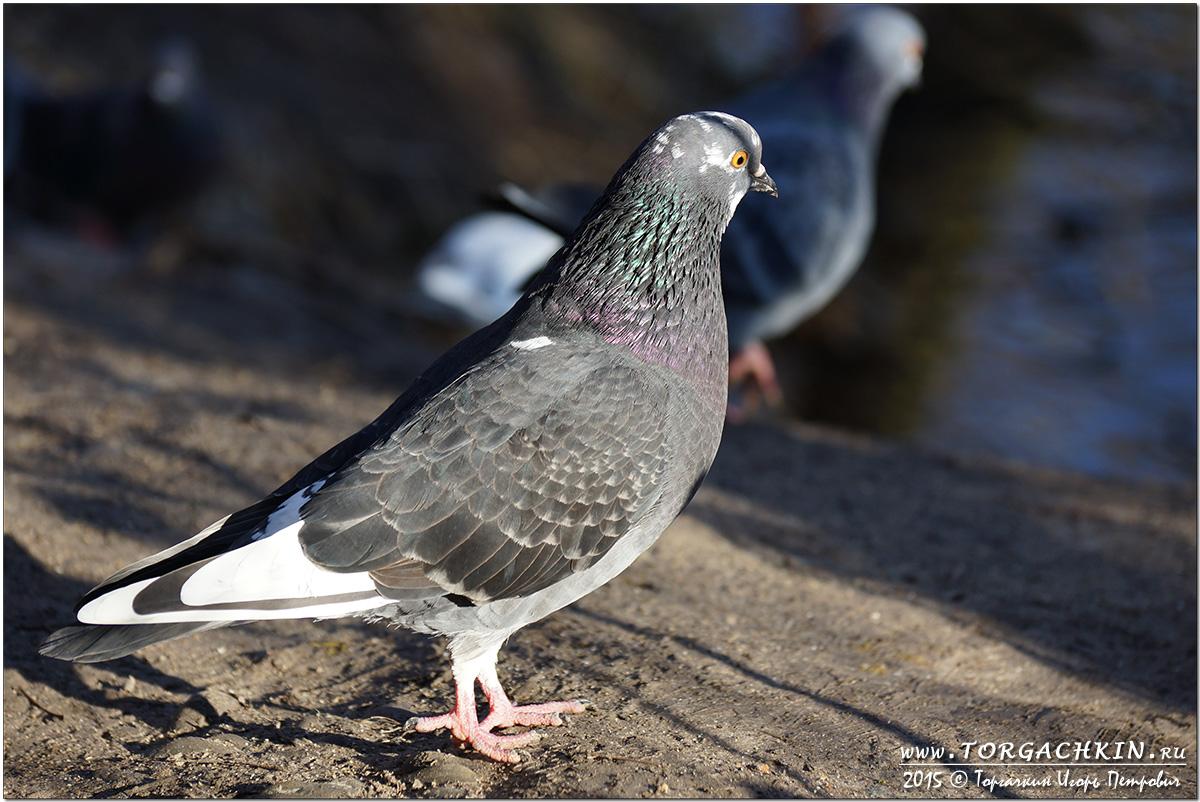 Columba livia или Сизый голубь