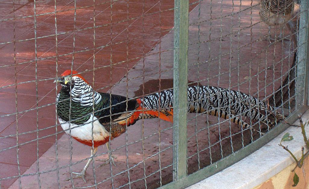 Алмазные фазаны – фото, особенности декоративных качеств и содержания