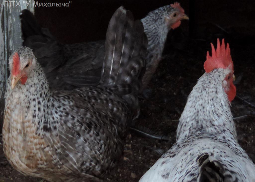 Борковская Барвистая порода кур – описание, фото и видео
