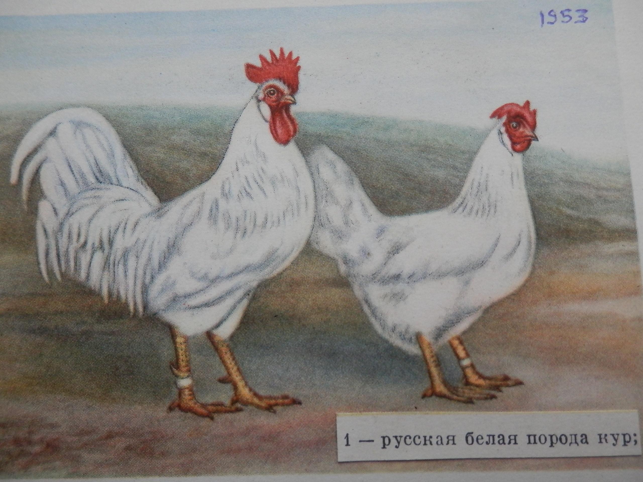 Русская белая - яичная порода кур. Характеристики, разведение, кормление и правила инкубации