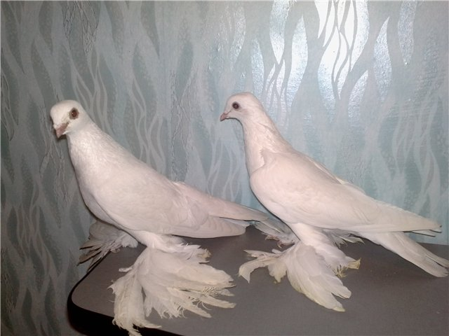 Учимся отличать голубей от голубок