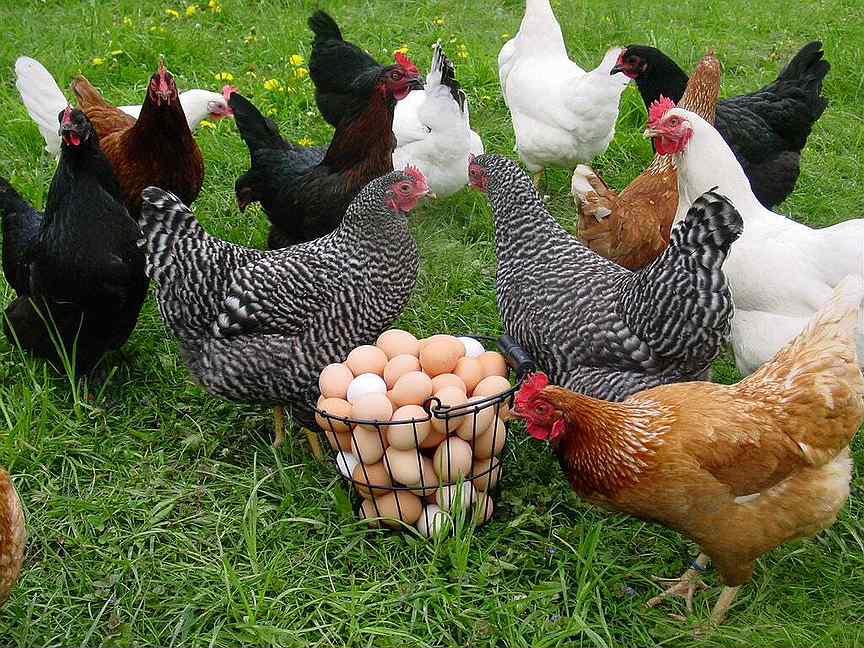 Что нужно цыплятам в 3-4 месяца – 10 советов
