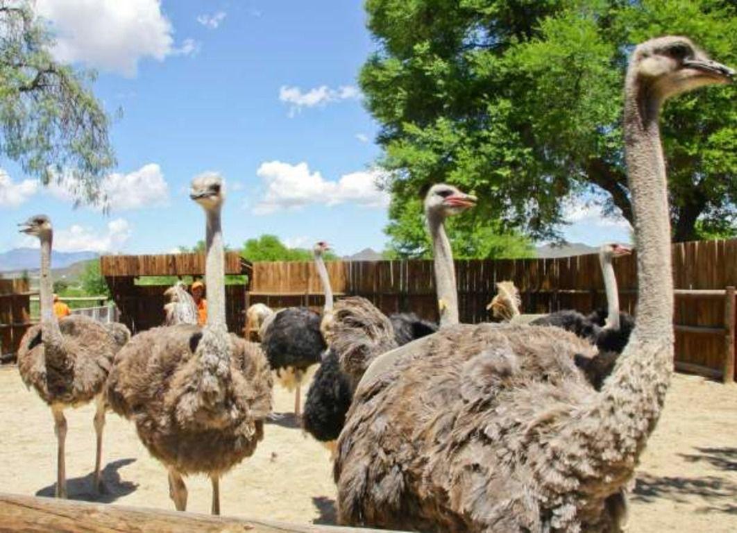 Разведение страусов: особенности содержания и выращивания