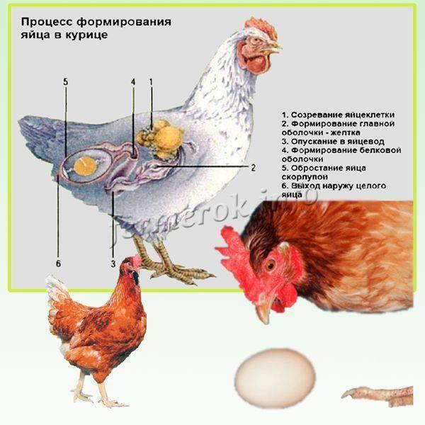Когда начинают нестись куры? Возраст начала яйцекладки у птиц разных направлений