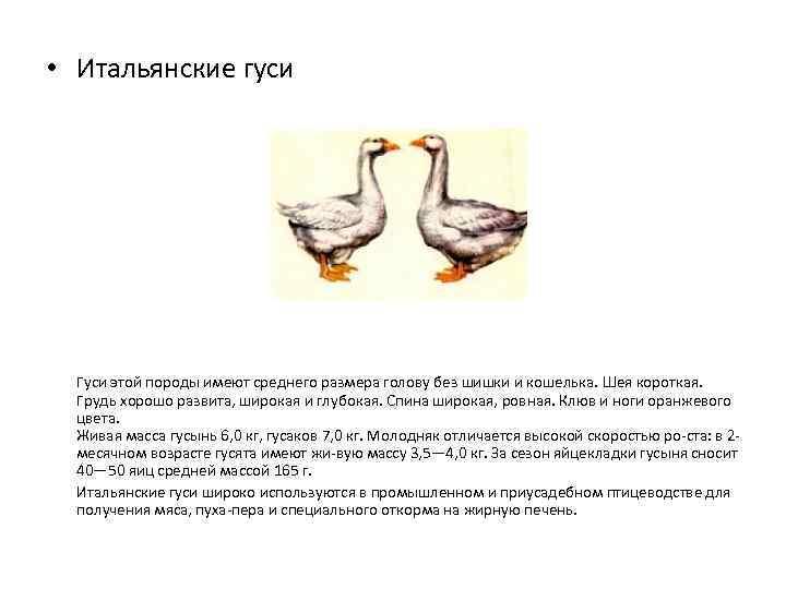 Ландские гуси – особенности здоровья, кормления на мясо и жирную печень