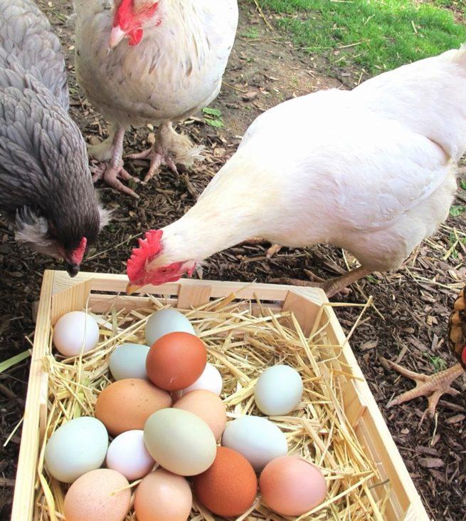 Как содержать кур правильно и получать много яиц