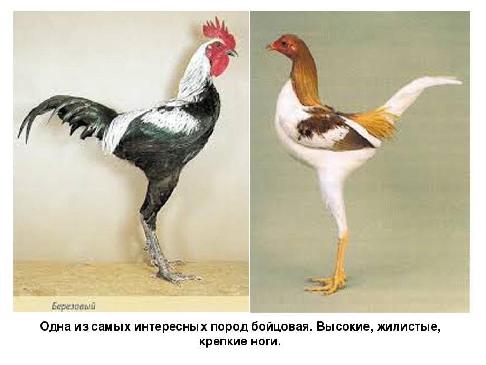 Сатсумадори - бойцовая порода кур. Описание, характеристики, разведение, содержание, кормление и инкубация