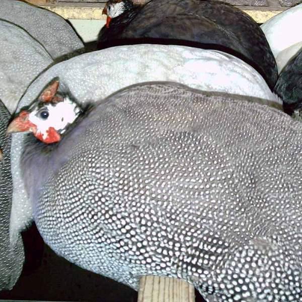 Бройлерные цесарки в домашних условиях