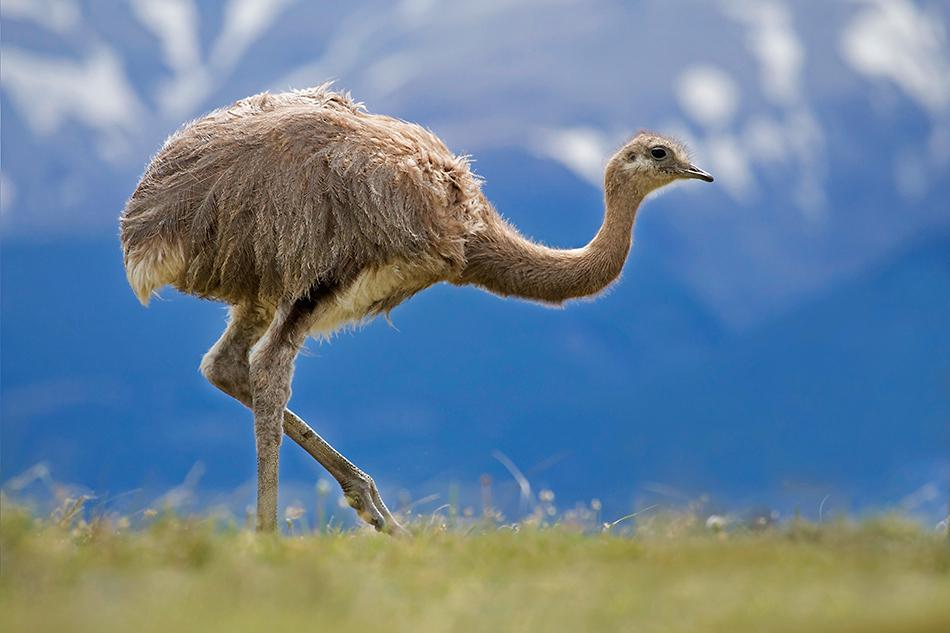 Описание видов и пород страусов