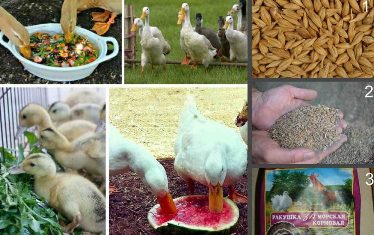 Можно ли кормить индоуток ячменем, как правильно это делать