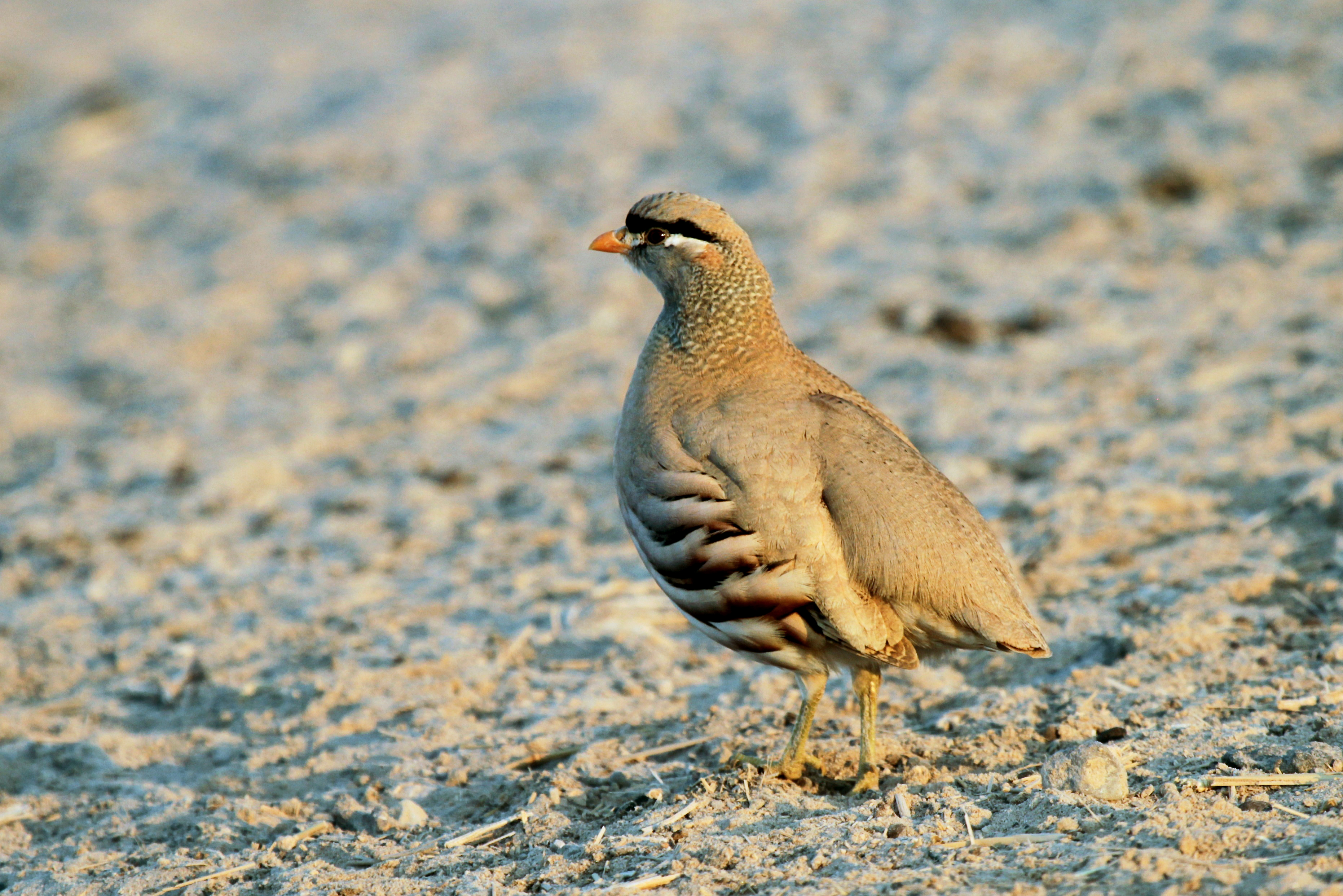 Каменная куропатка или кеклик: описание птички