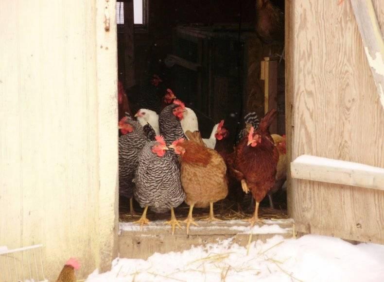 Зимнее кормление кур несушек для хорошей яйценоскости