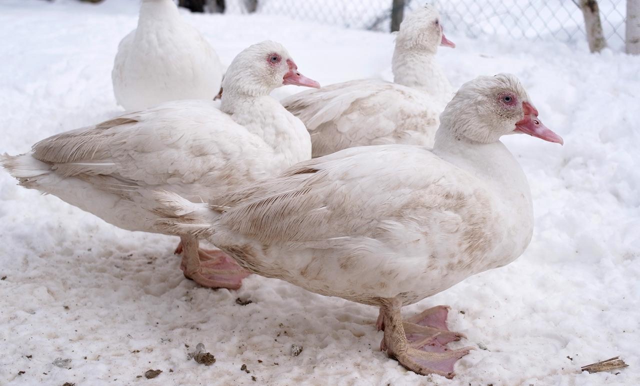 Индоутка, или барбарийская утка – фото и описание породы