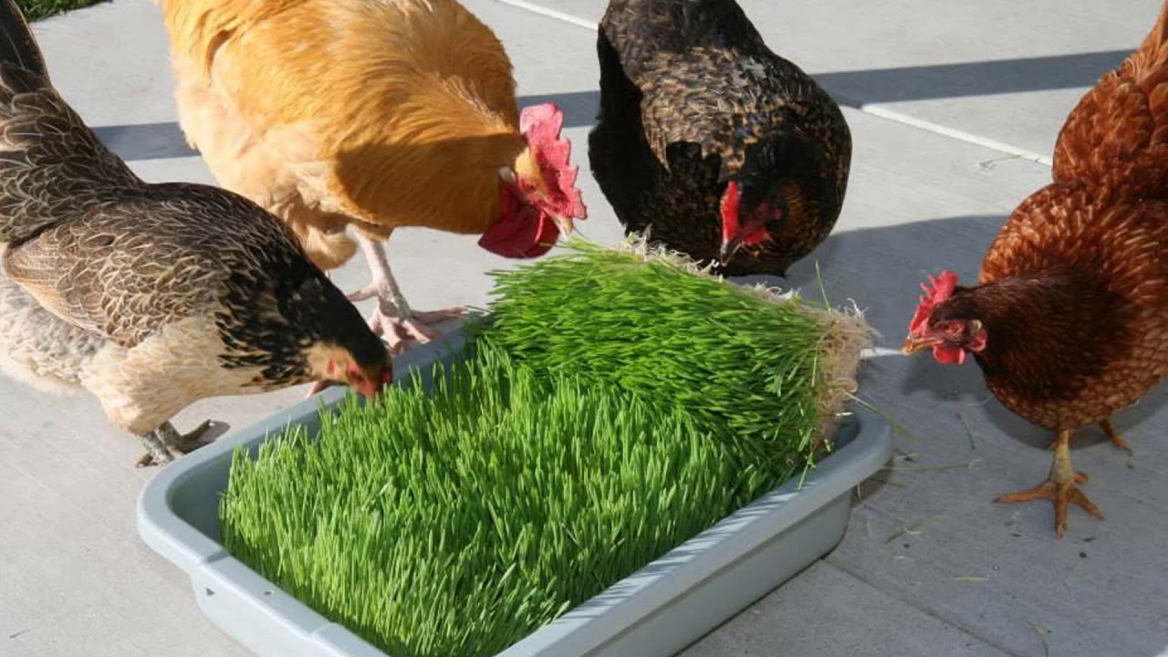 Какую зелень можно давать курам-бройлерам и цыплятам с первых дней?