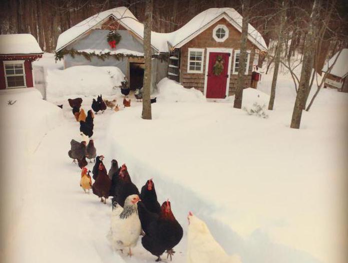Забота о курах зимой и уход в морозы
