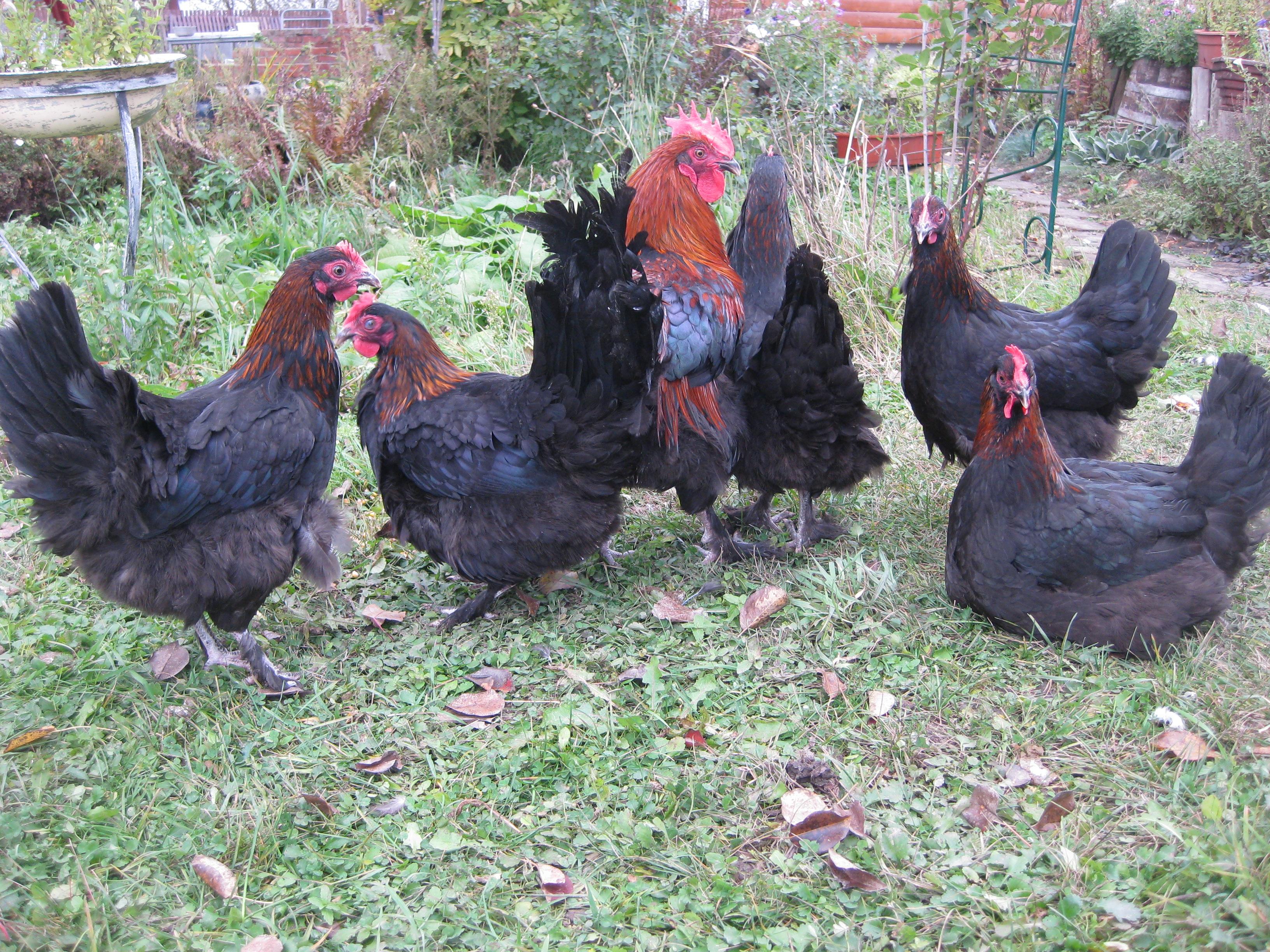 Золотые яйца от редкой курицы Маран