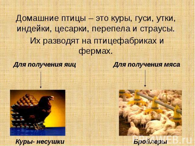 Можно ли содержать вместе кур, гусей и уток? Трудности, правила обустройства птичника и выгула, кормление птиц