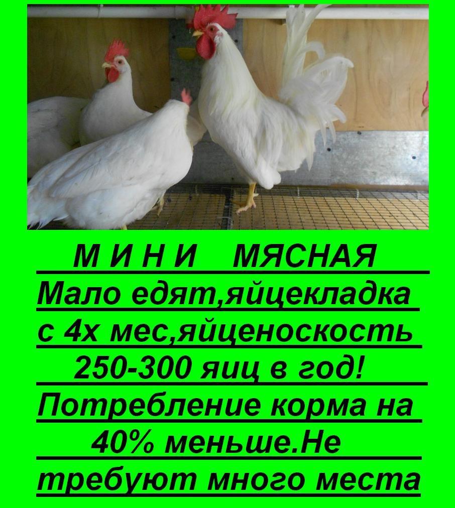 Какие куры не боятся русских морозов? Породы и характеристики