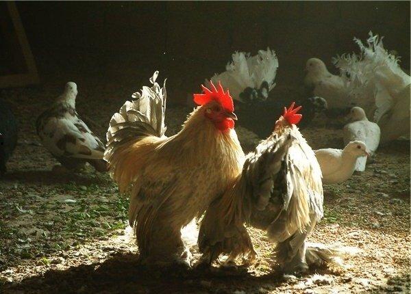 Бентамка мохноногая порода кур – описание с фото и видео