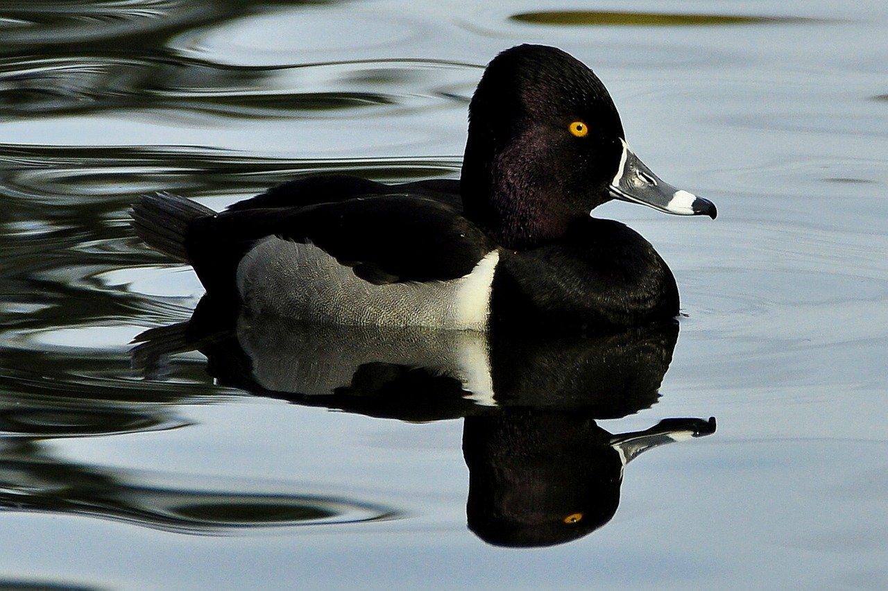 Чем примечательны черные утки, каковы их достоинства и недостатки