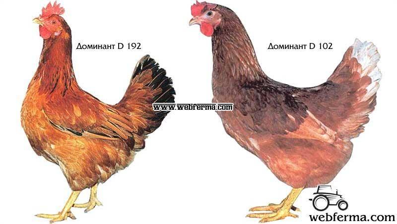 Порода кур и кросс — в чем разница?