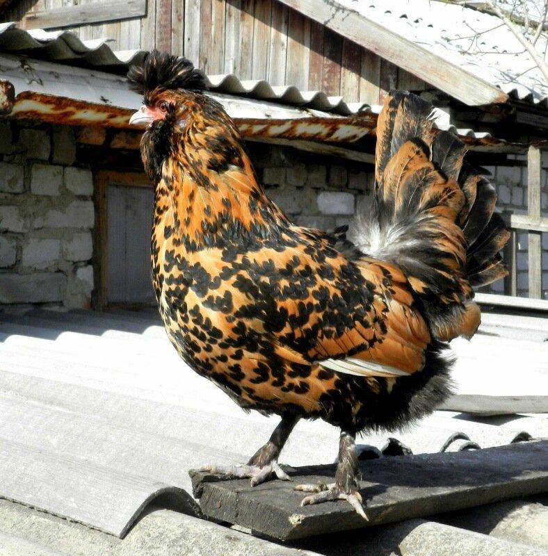 Характеристика декоративных кур – Павловских