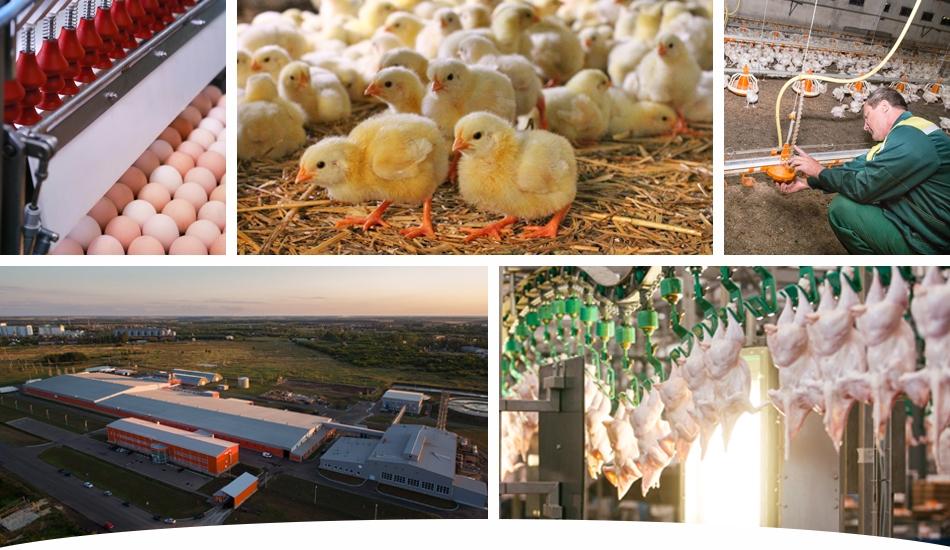 Отечественное птицеводство в России на новом уровне