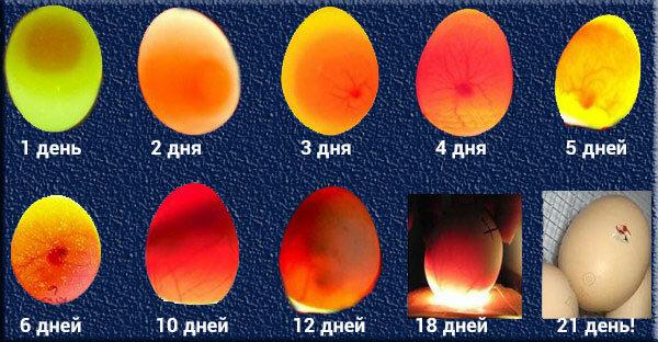 Как определить, есть ли цыпленок в яйце?