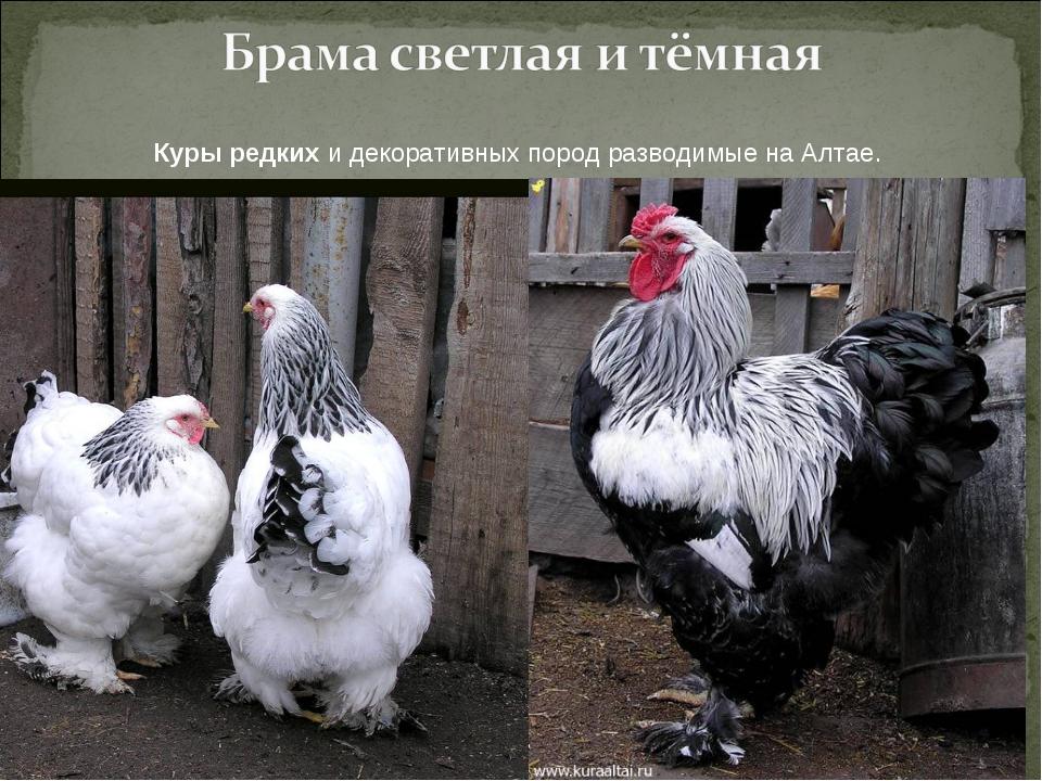 Лучшие породы кур мясо яичного направления с фото и видео