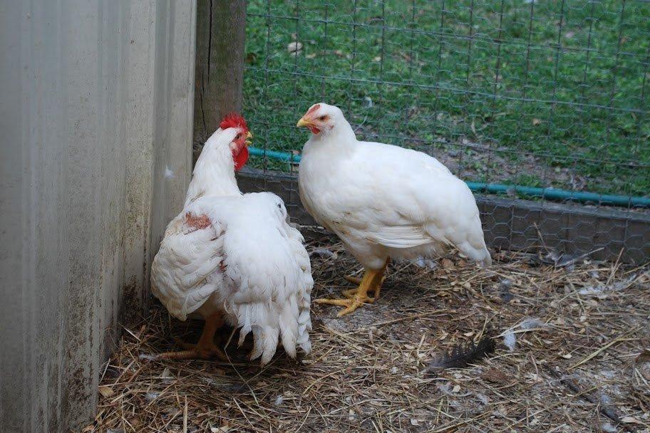 Бандара порода кур – описание с фото и видео
