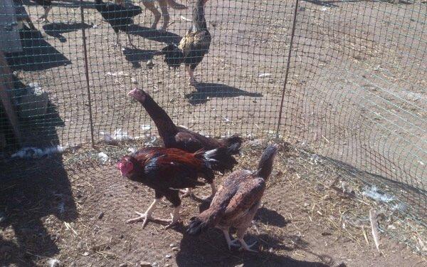 Лари порода кур – описание бойцовых с фото и видео