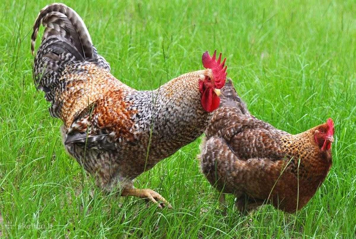 Билефельдер порода кур – описание, фото и видео