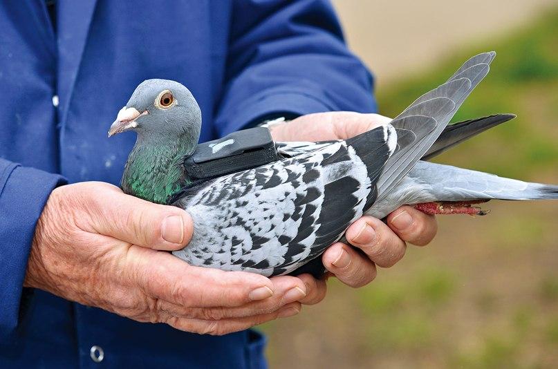 Немецкий почтовый голубь: спортивные характеристики, стандарт породы