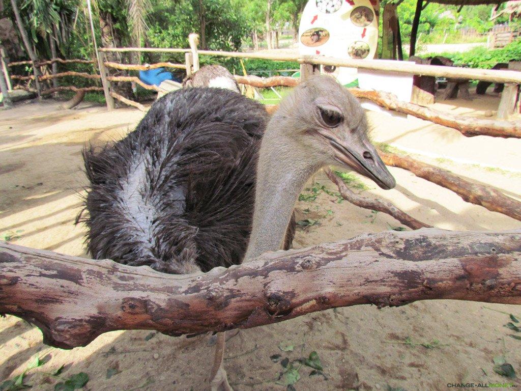Домашние страусы – находка для фермера
